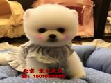 赛级博美犬 白色纯种博美幼犬出售 博美犬舍